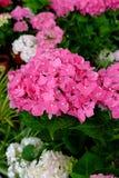 Vanlig hortensiablomma Fotografering för Bildbyråer