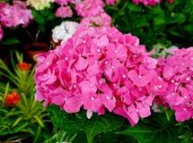 Vanlig hortensiablomma Arkivfoton