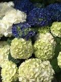 Vanlig hortensiablomma Royaltyfria Foton