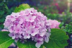 Vanlig hortensiablomma Arkivbilder