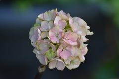 Vanlig hortensiablomma Arkivbild