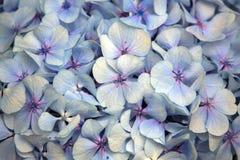 Vanlig hortensiablomma abstrakt bakgrundsblommor Närbild Arkivfoto