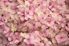 Vanlig hortensiablomma abstrakt bakgrundsblommor Närbild Arkivfoton