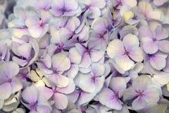Vanlig hortensiablomma abstrakt bakgrundsblommor Närbild Fotografering för Bildbyråer