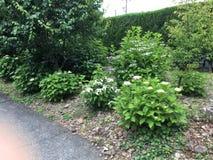 Vanlig hortensiablomma royaltyfri fotografi