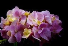 Vanlig hortensiablomma - rosa färger och guling Royaltyfri Foto