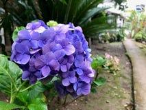 Vanlig hortensiablomma som förresten blommar arkivfoton