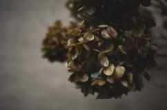 Vanlig hortensiablommahuvud Arkivbild