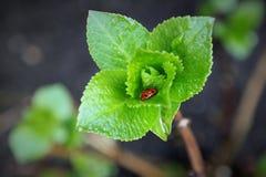 vanlig hortensiablommaknopp i vår, med nyckelpigan Arkivbilder
