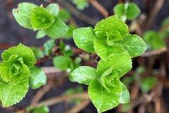 Vanlig hortensiablommaknoppar i vår Royaltyfri Fotografi