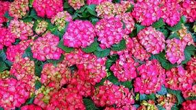 Vanlig hortensiablommor Arkivfoton