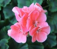 Vanlig hortensiablommor royaltyfria bilder