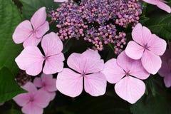 Vanlig hortensiablommor Arkivbilder