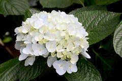 Vanlig hortensiablommor Fotografering för Bildbyråer