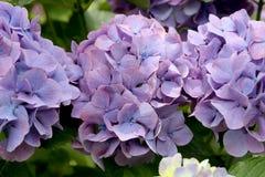 Vanlig hortensiablommor Arkivfoto