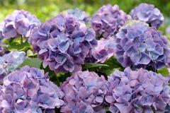 Vanlig hortensiablommor Royaltyfri Fotografi