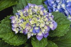 Vanlig hortensiablommor - Hydrangeaceae Royaltyfri Bild