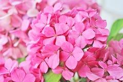 Vanlig hortensiablomning Royaltyfri Foto