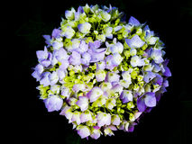 Vanlig hortensiablomning Royaltyfria Bilder