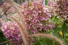 Vanlig hortensiablomningar Royaltyfri Fotografi