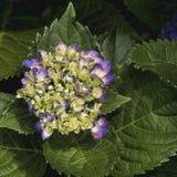 Vanlig hortensiablomningar - Hydrangeaceae Arkivfoton