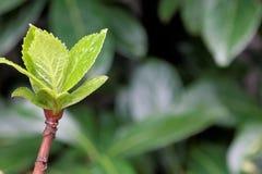 Vanlig hortensiaknoppen och fattar i vår Arkivbilder