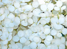 Vanlig hortensiakronblad Royaltyfri Bild