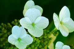 vanlig hortensialeafoak Arkivbild