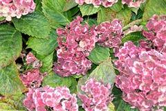 Vanlig hortensiamacrophylla'Frau Katsuko' Arkivbilder