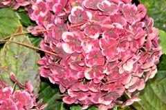 Vanlig hortensiamacrophylla'Frau Katsuko' Royaltyfria Bilder