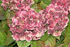 Vanlig hortensiamacrophylla'Frau Katsuko' Arkivbild
