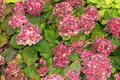 Vanlig hortensiamacrophylla'Frau Katsuko' Arkivfoton