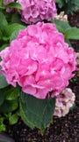 vanlig hortensiamacrophylla Royaltyfria Foton