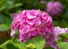 Vanlig hortensiamacrophylla i en trädgård Royaltyfri Foto