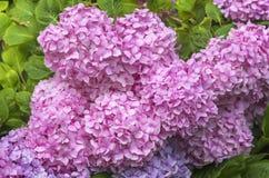 Vanlig hortensiamacrophylla i en trädgård Royaltyfri Bild