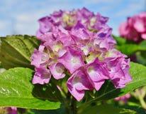 Vanlig hortensiamacrophylla på droppar av regn Fotografering för Bildbyråer