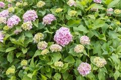 Vanlig hortensiamacrophylla, rosa Hortensiabuske Royaltyfri Fotografi