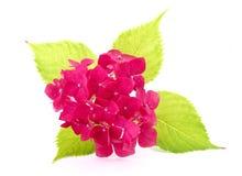 Vanlig hortensiamakro Royaltyfri Fotografi