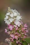 Vanlig hortensiapaniculatablomningar - vaniljfraise Arkivbilder