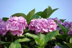 vanlig hortensiapink Royaltyfri Bild