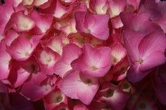 vanlig hortensiapink Arkivbilder