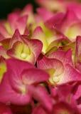 vanlig hortensiapink Arkivbild