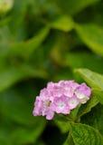 vanlig hortensiapink Fotografering för Bildbyråer