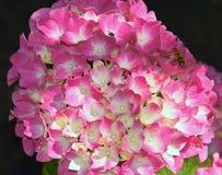 vanlig hortensiapink Arkivfoto