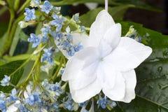 Vanlig hortensiaskyttestjärnan snör åt locket Arkivbild