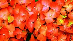 Vanlig hortensiatapet Royaltyfria Bilder