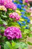 Vanlig hortensiaträdgård Royaltyfria Bilder