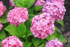 Vanlig hortensiaträdgård i Japan Arkivfoto