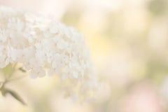 vanlig hortensiawhite Arkivbild