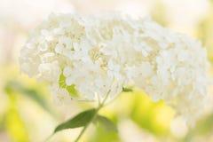 vanlig hortensiawhite royaltyfri foto